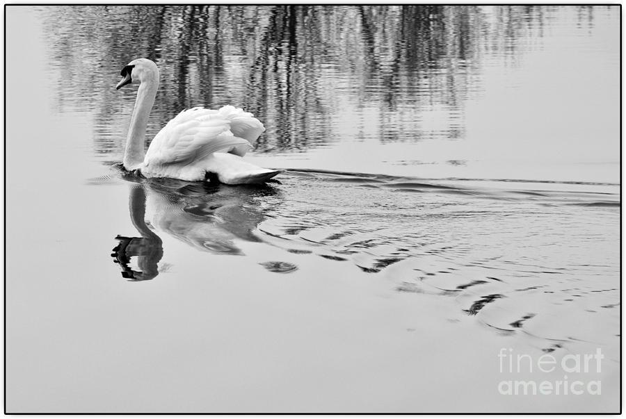 Swan elegance by Simona Ghidini