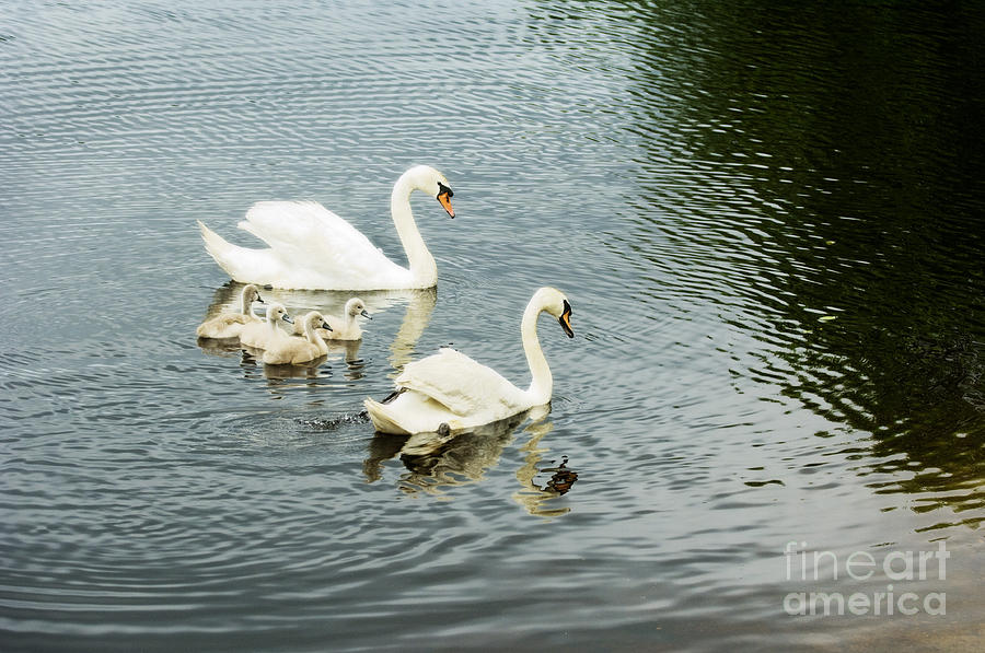 Swans Photograph - Swan Family by Jim  Calarese