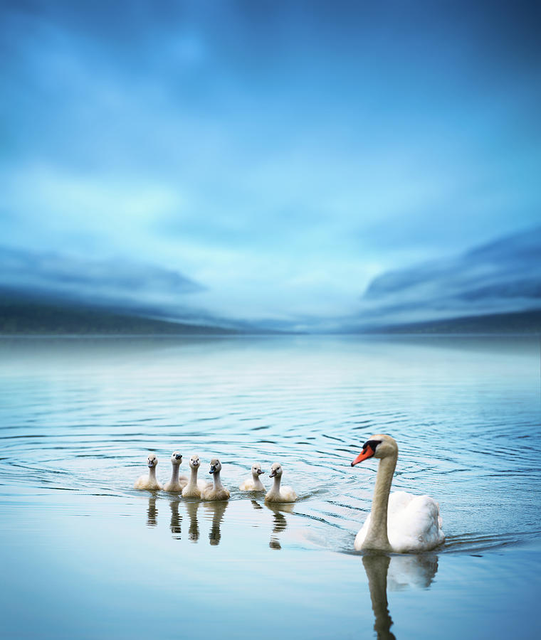 Swan Family On The Lake Photograph by Borchee