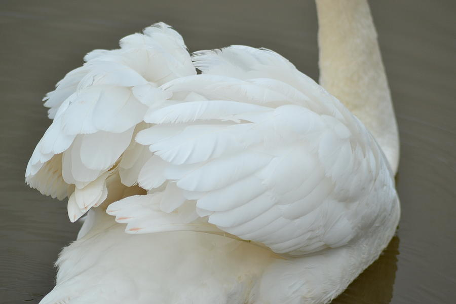Swan Feathers