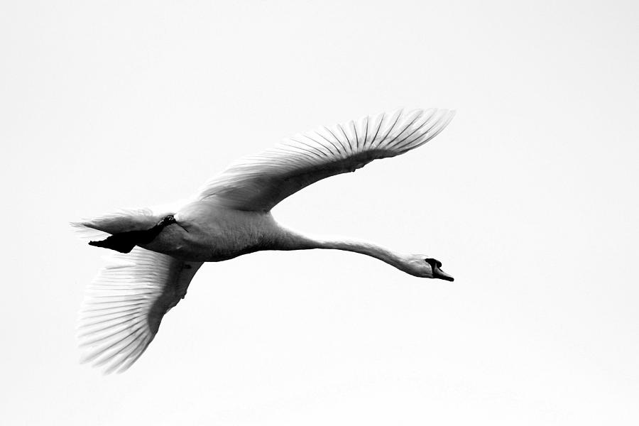 Swan Photograph - Swan In Flight Black And White by Diane Rada
