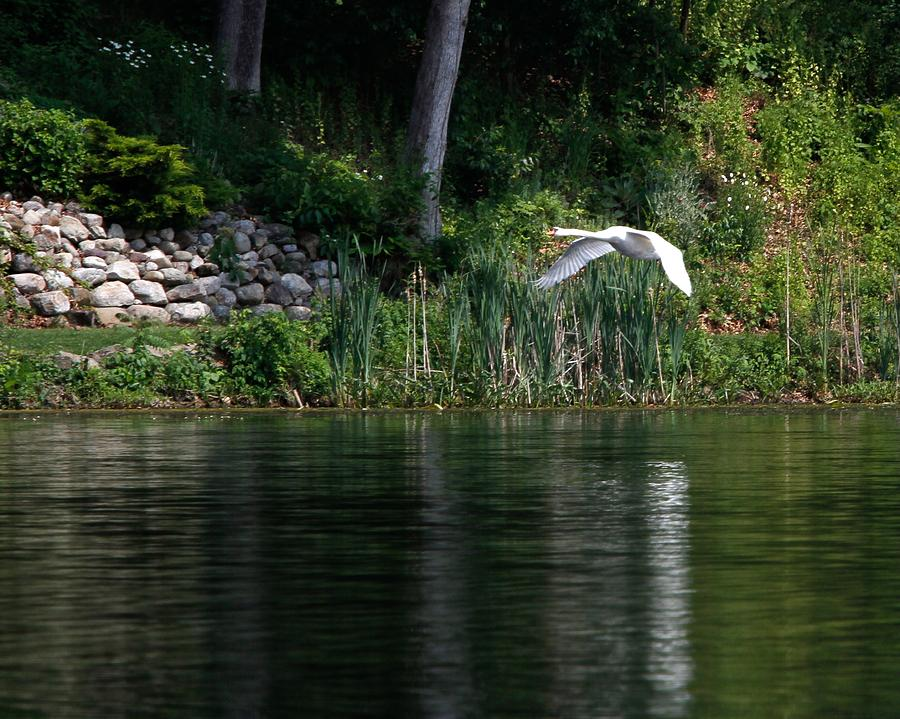 Birds Photograph - Swan In Flight by Eleanor Abramson