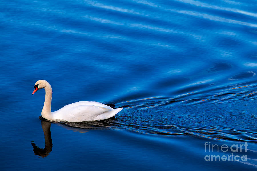 Water Photograph - Swan Lake by Adrian Evans