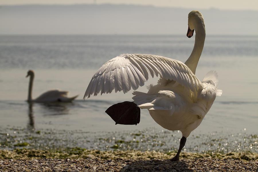 Swan Lake Photograph by Karim SAARI