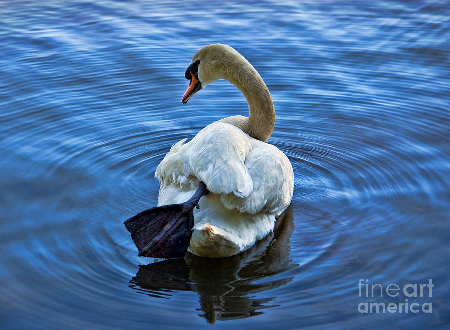 Swan Photograph - Swan Lake by The Soulosphere