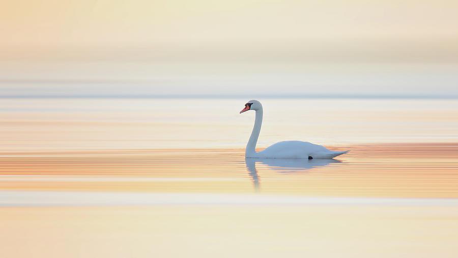 Denmark Photograph - Swan by Leif L??ndal