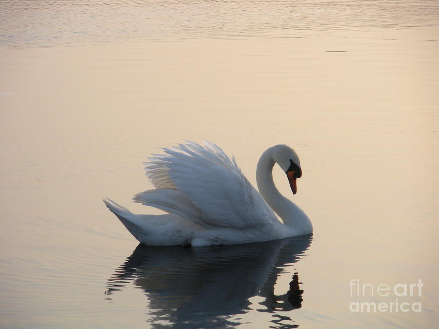 Swan Photograph - Swan On A Lake by Sophia Elisseeva