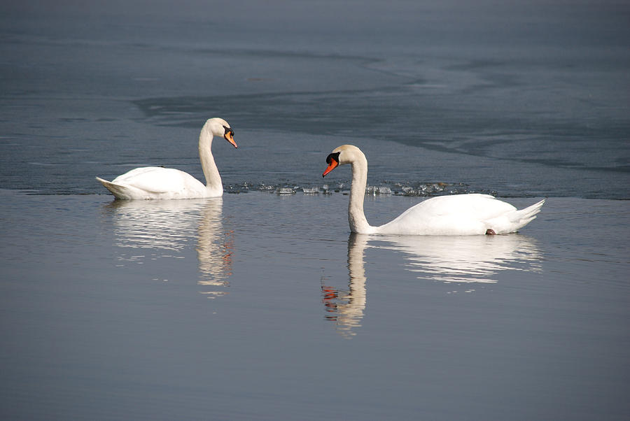 Swan Reflection by Pristine Images