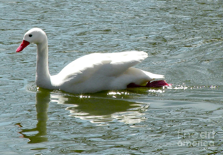 Bird Photograph - Swan Reflection by Terry Weaver