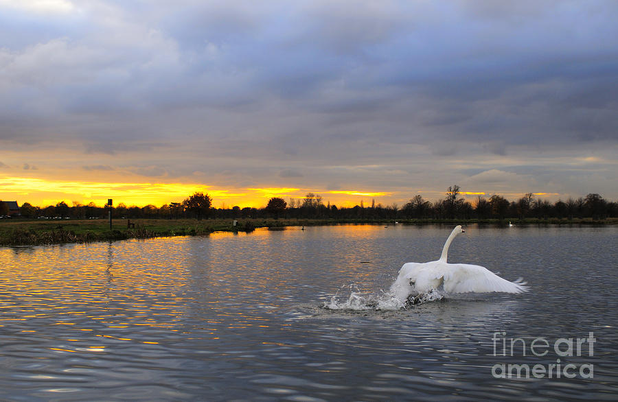 England Photograph - Swan Taking Off by Lana Enderle