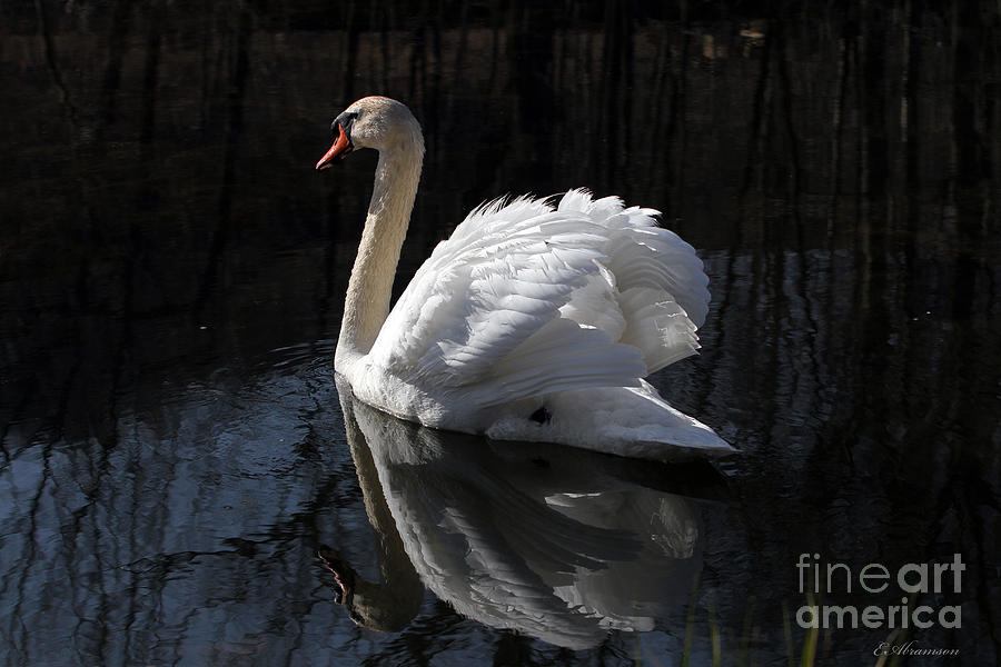 Swan Photograph - Swan With Reflection  by Eleanor Abramson