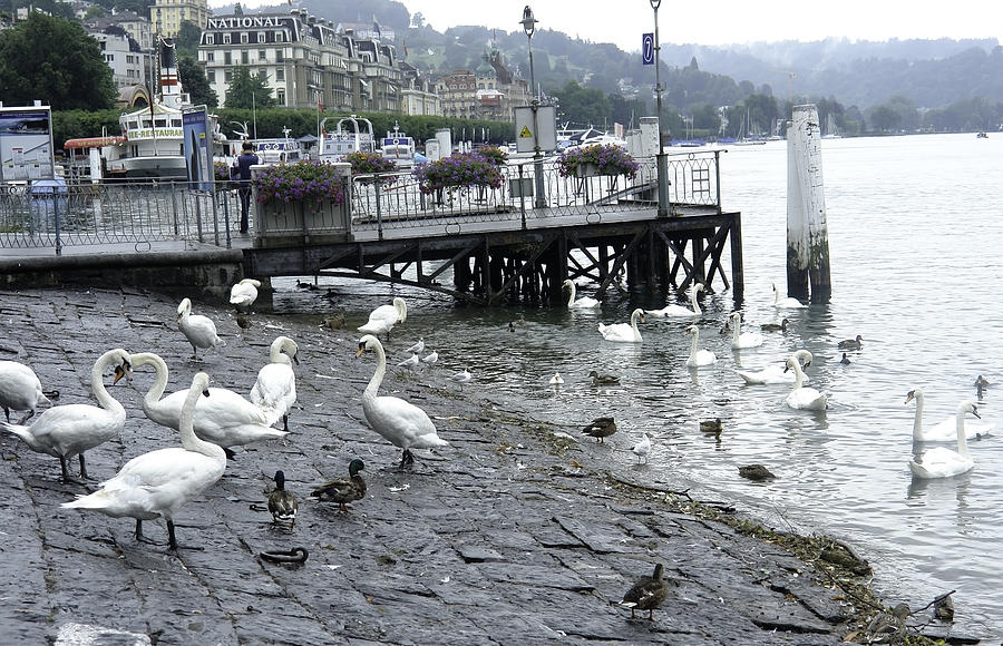 Bird Photograph - Swans And Ducks In Lake Lucerne In Switzerland by Ashish Agarwal