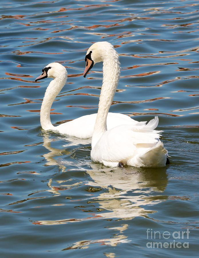 Swan Photograph - Swans And Swirls by Carol Groenen