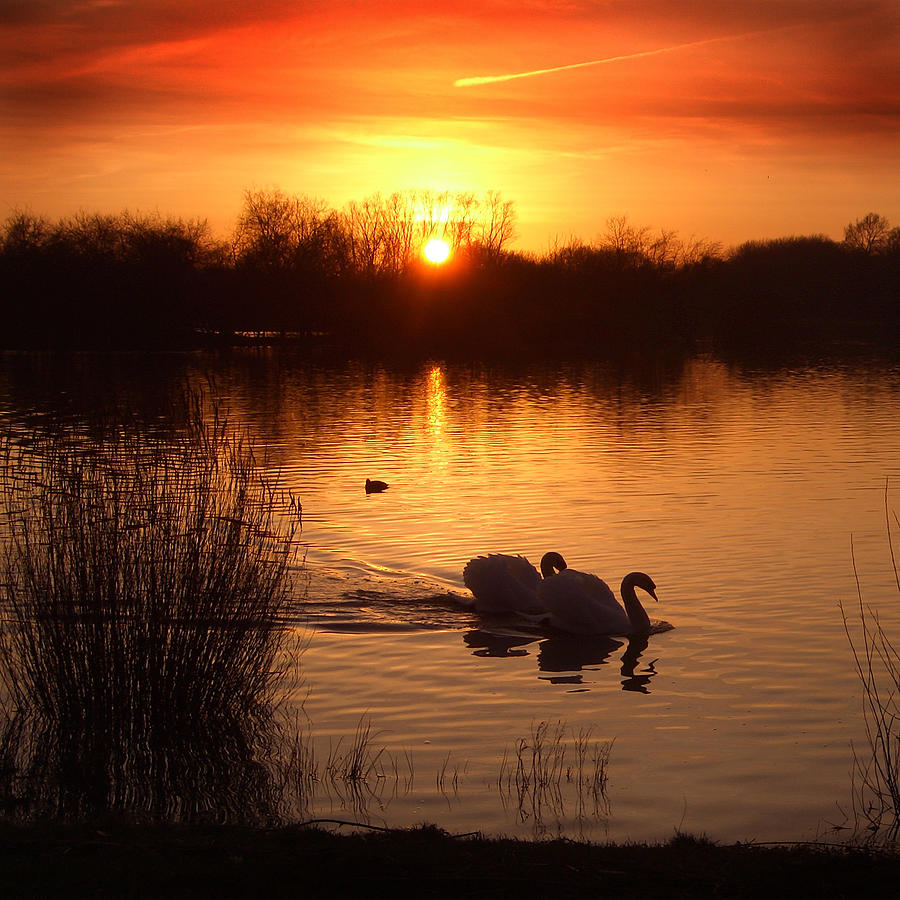 Swans Photograph - Swans At Sunset by Ed Pettitt