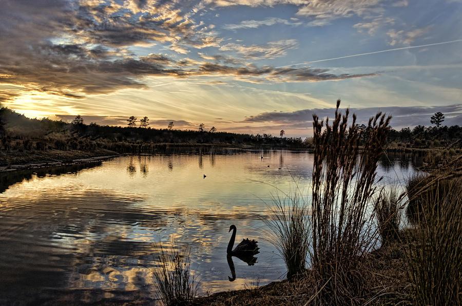 Swan's Delight by Jennifer Stockman