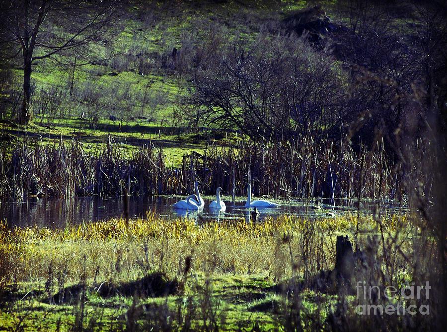 Swan Photograph - Swans by Gloria De los Santos