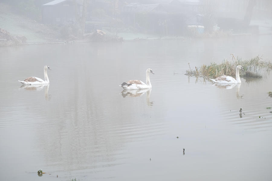 Swan Photograph - Swans In Fog by Mark Severn