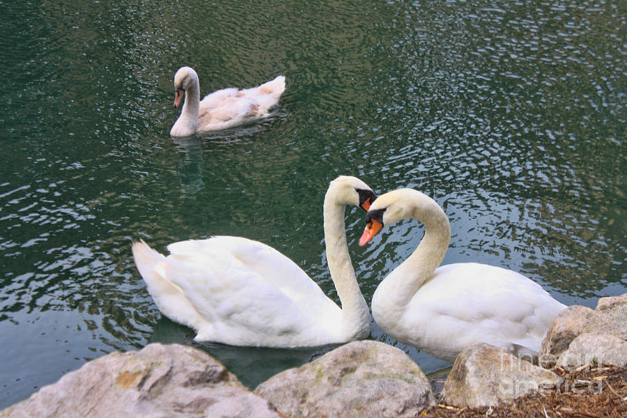 Swans Photograph - Swans In Love by Lidia Anderson