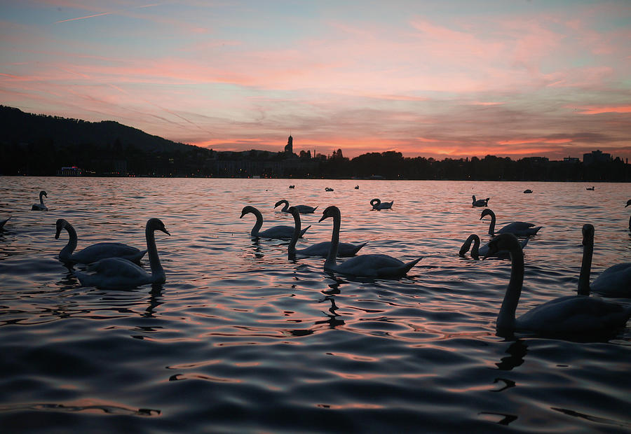 Swans On Lake Zurich Photograph by Photography By Daniel Frauchiger, Switzerland