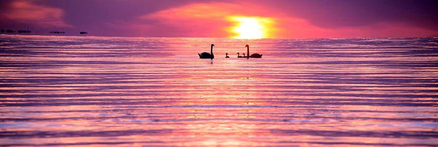 Swans Photograph - Swans On The Lake by Jon Neidert