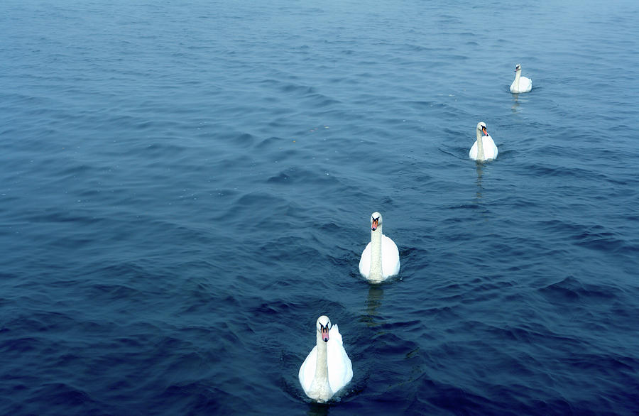 Horizontal Photograph - Swans On The Vltava River, Prague by Panoramic Images