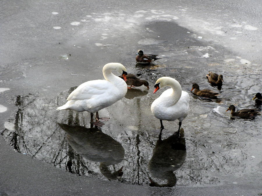 Photographs Photograph - Swans On Thin Ice by Brian Chase