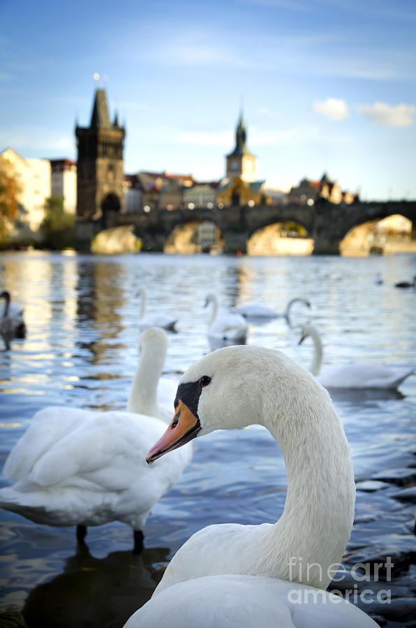 Prague Pyrography - Swans On Vltava River by Jelena Jovanovic