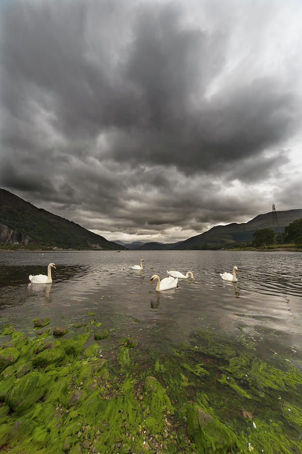 Seaweed Photograph - Swans Swimming In The Water Of Loch by John Short / Design Pics