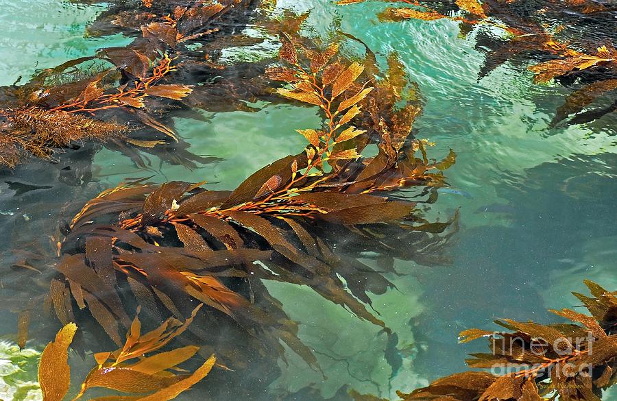 Susan Wiedmann Photograph - Swaying Seaweed by Susan Wiedmann