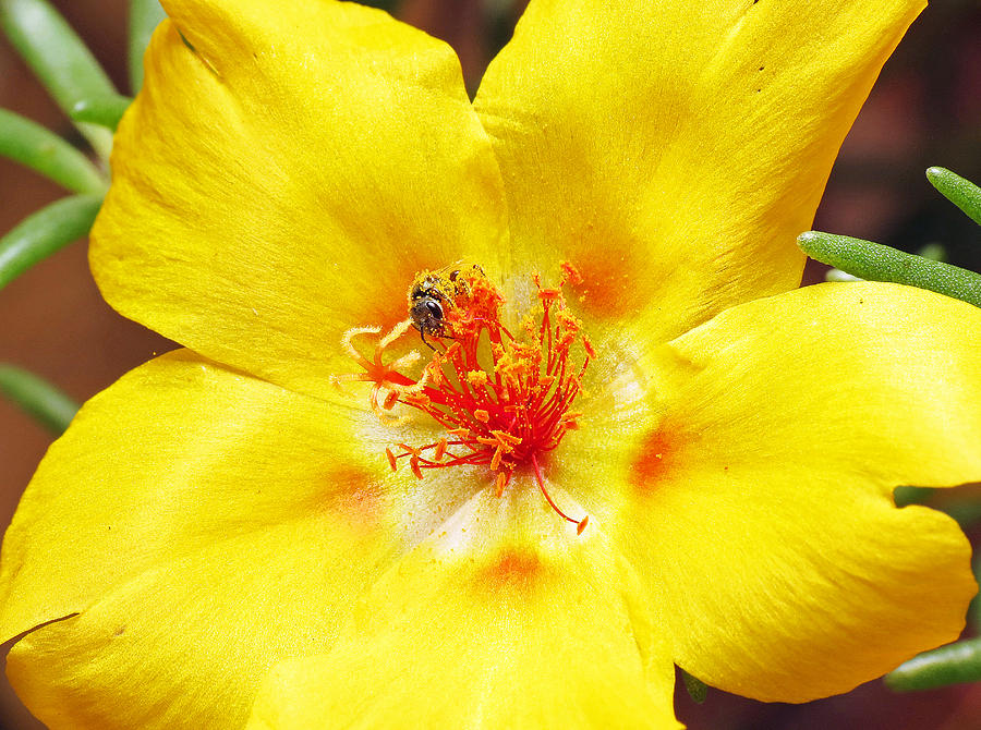 Sweat Bee Photograph - Sweat Bee On Rock Rose Two by Walter Klockers