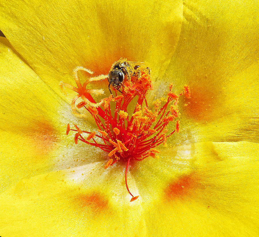 Sweat Bee Photograph - Sweat Bee On Rock Rose by Walter Klockers