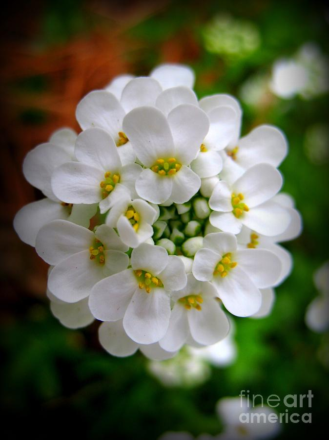 White Alyssum Photograph - Sweet Alyssum by Patti Whitten