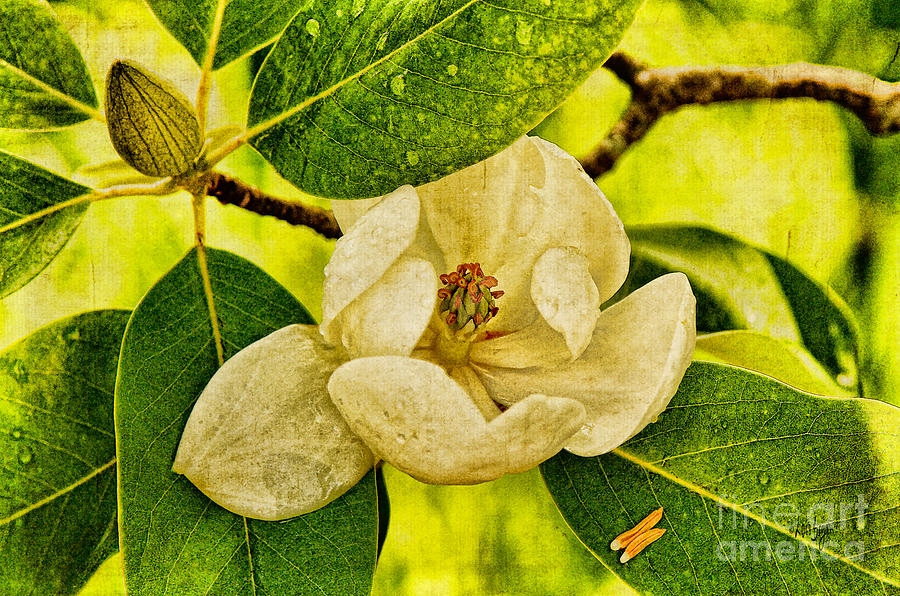 Magnolia Photograph - Sweet Bay Magnolia After The Rain by Lois Bryan
