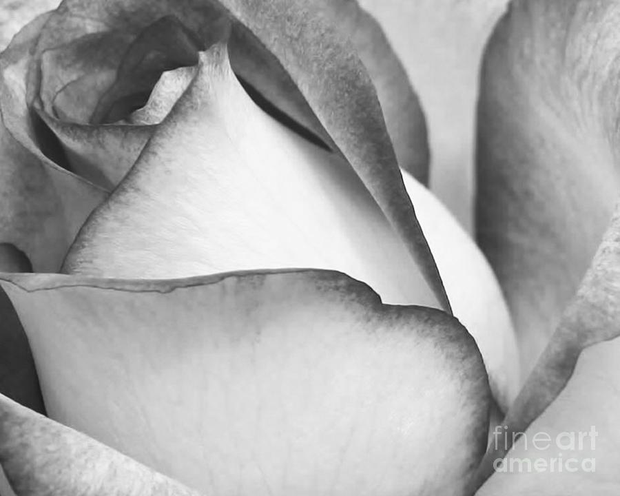 Macro Photograph - Sweet Black And White Rose  by Sabrina L Ryan