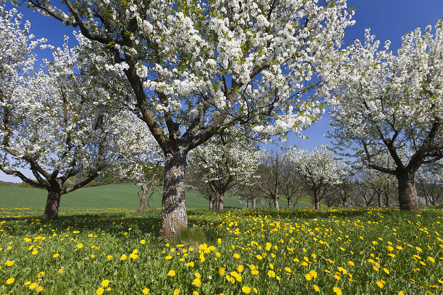 Sweet Cherry Orchard In Full Bloom Photograph by Duncan Usher