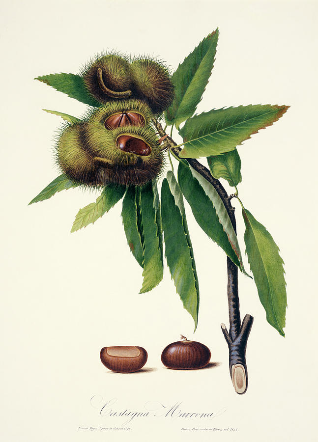 Sweet Chestnut Photograph - Sweet Chestnut by Natural History Museum, London