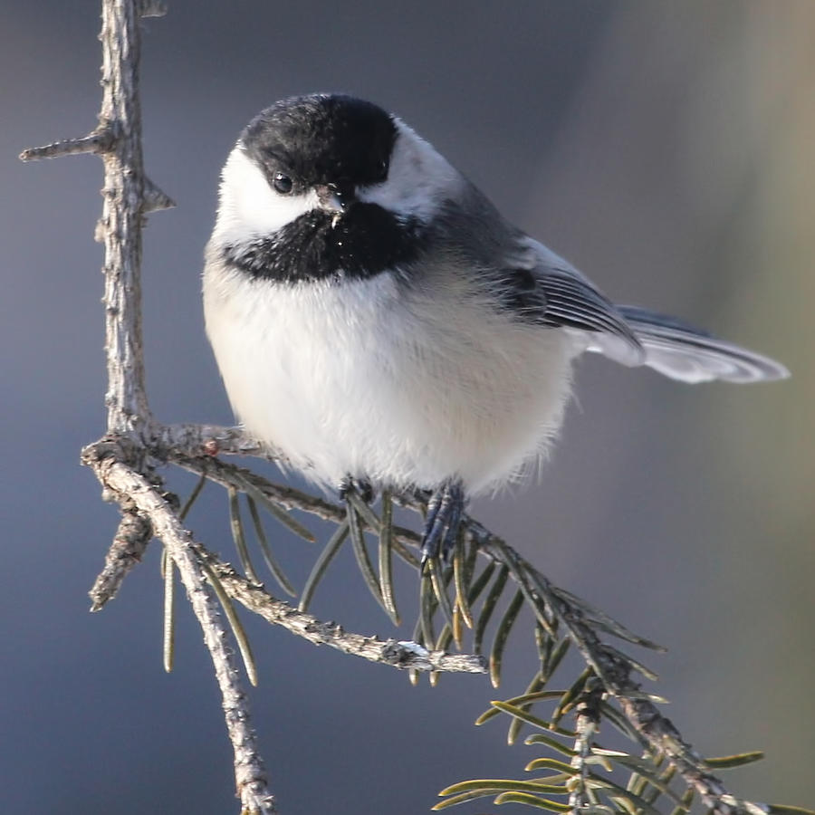 Bird Photograph - Sweet Chickadee by John Kunze