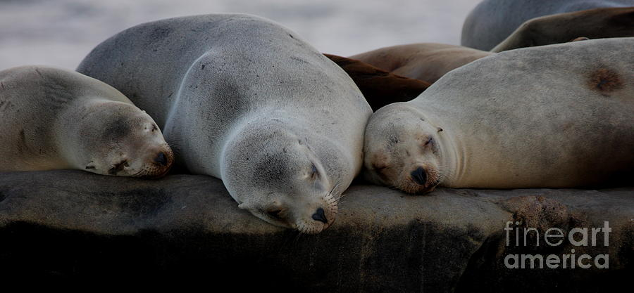 Seals Photograph - Sweet Dreams Seals by Ruth Jolly