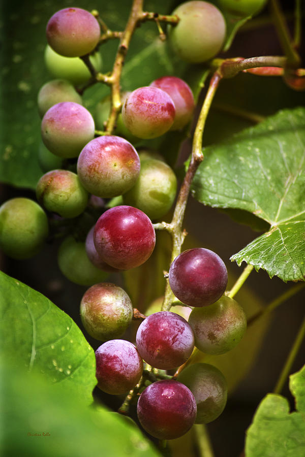 Wine Photograph - Sweet Grapes by Christina Rollo