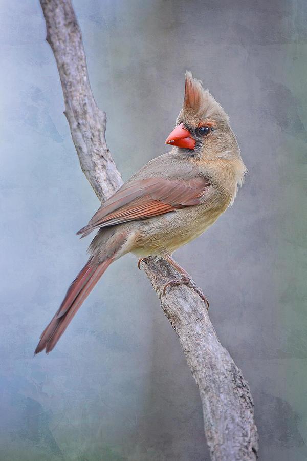 Female Cardinal Photograph - Sweet Little Lady Redbird by Bonnie Barry