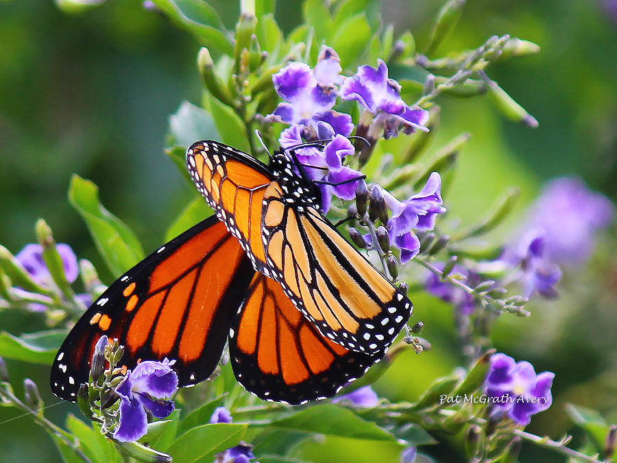 Butterfly Photograph - Sweet Nectar by Pat McGrath Avery