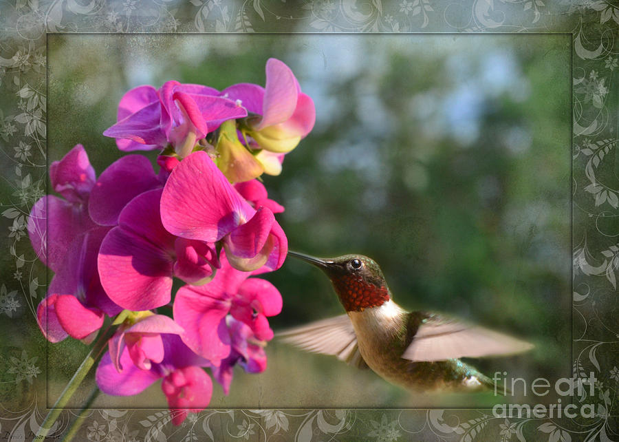 Nature Photograph - Sweet Pea Hummingbird IIi by Debbie Portwood
