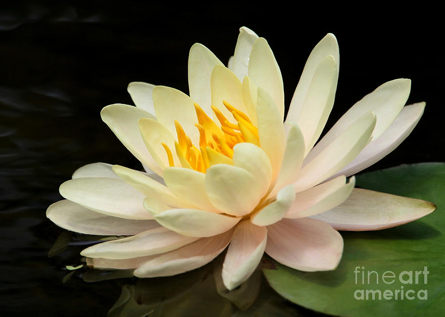Macro Photograph - Sweet Peach Water Lily by Sabrina L Ryan