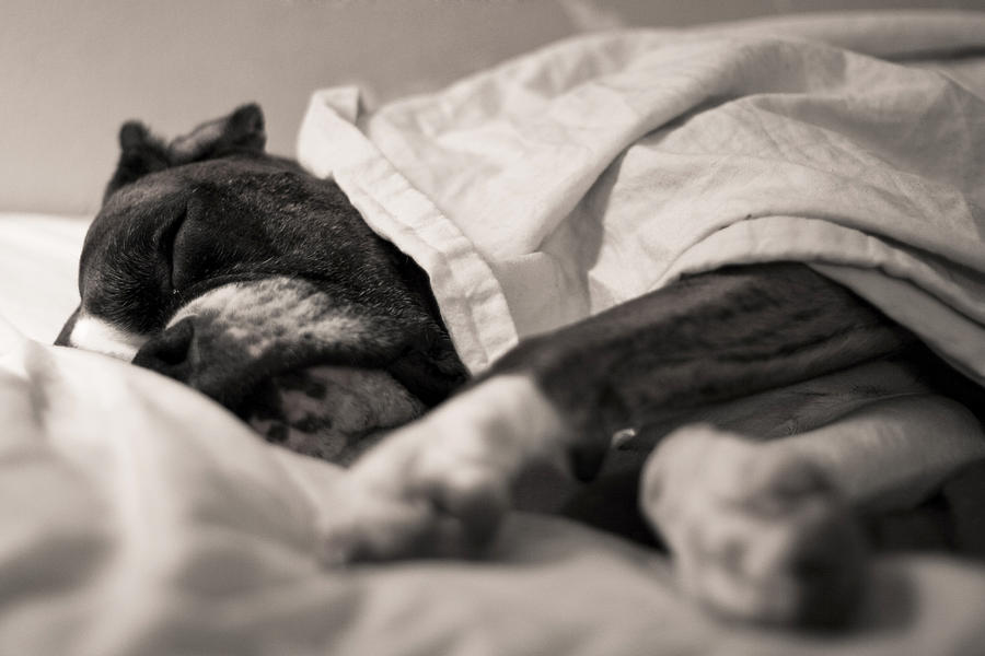 Boxer Photograph - Sweet Sleeping Boxer by Stephanie McDowell