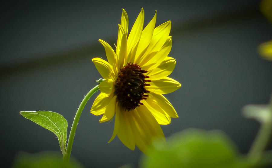 Sweet Sunflower by Stacy Michelle Smith