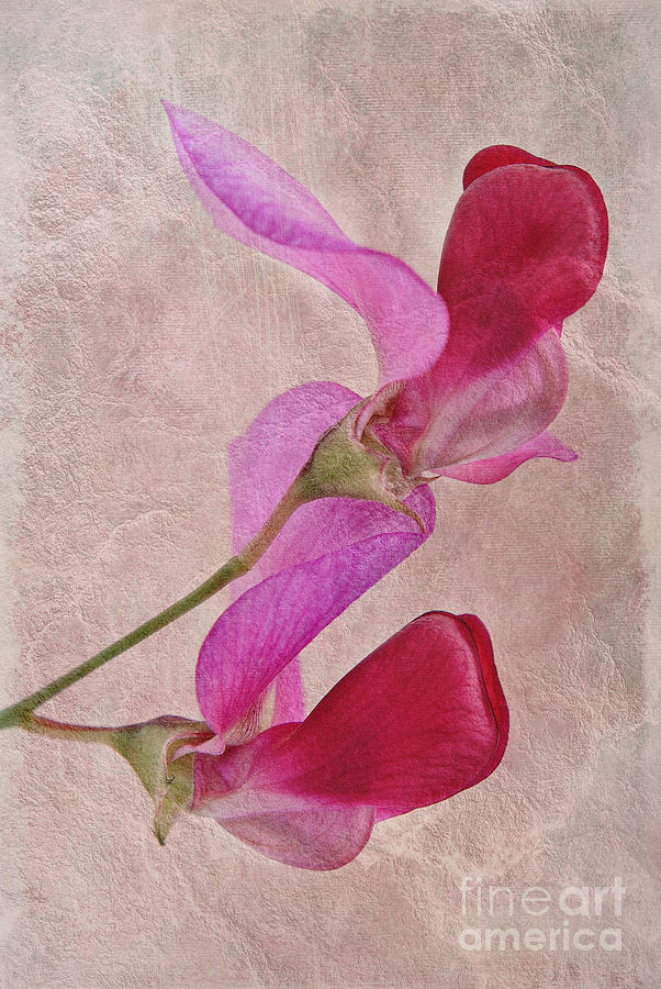 Sweet Pea Photograph - Sweet Textures 2 by John Edwards