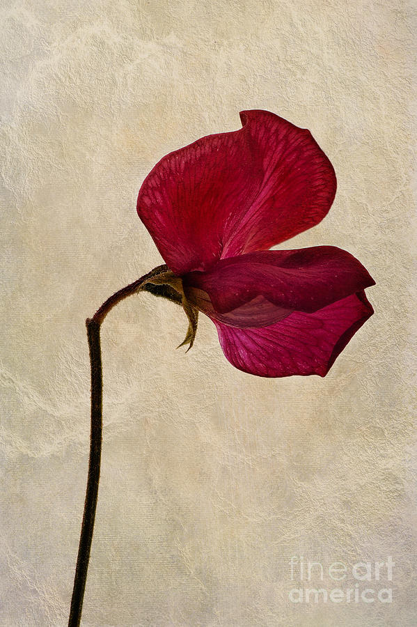 Sweet Pea Photograph - Sweet Textures by John Edwards