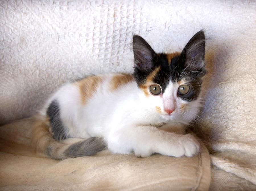 Kitten Photograph - Sweet The Kitten by Gina Dsgn