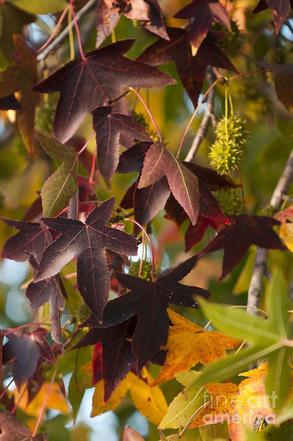 2013 Photograph - Sweetgum Leaves by Lauren Brice