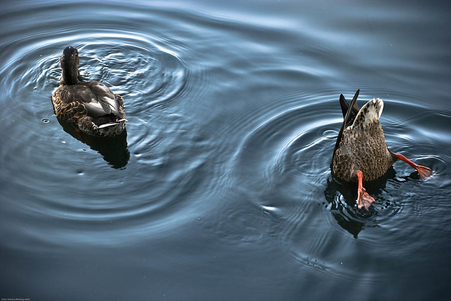 Ducks Photograph - Swim And Take The Plunge by Allan Millora